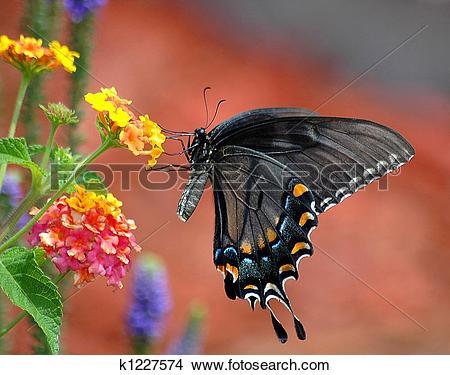Stock Photo of Black Swallowtail Butterfly Flutter k1227574.