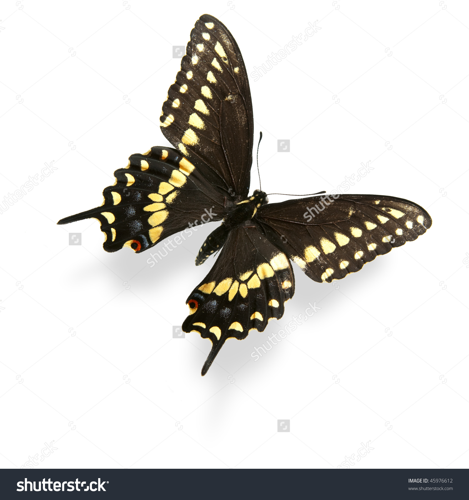 Yellow And Black Swallowtail Butterfly Isolated On White. Critical.