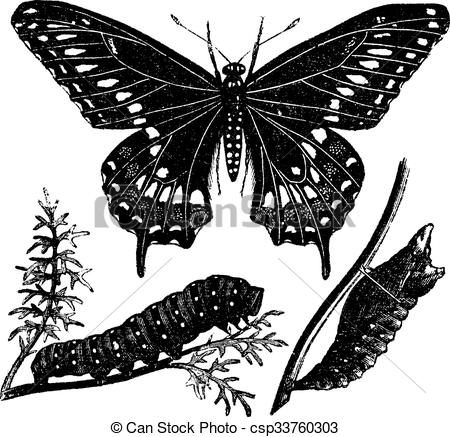 Vector Clipart of Black Swallowtail Butterfly or Papilio polyxenes.