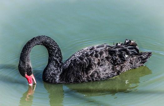 Black, Swan.