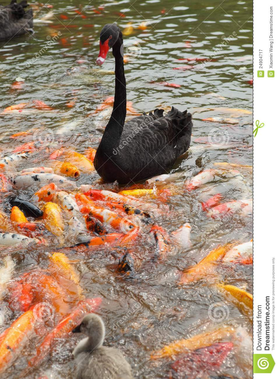 Black Swan And Koi Royalty Free Stock Photography.