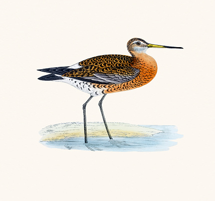 Black Tailed Godwit Clip Art, Vector Images & Illustrations.