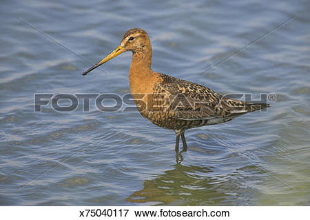 Picture of Black Tailed Godwit (Limosa limosa) in Summer Plumage.