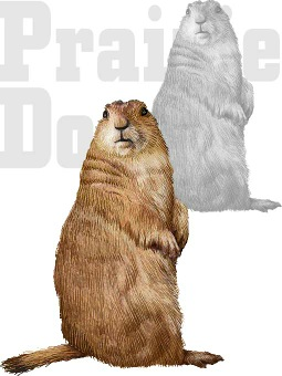 Black Tailed Prairie Dog.