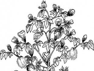 Cotton Plant clip art.