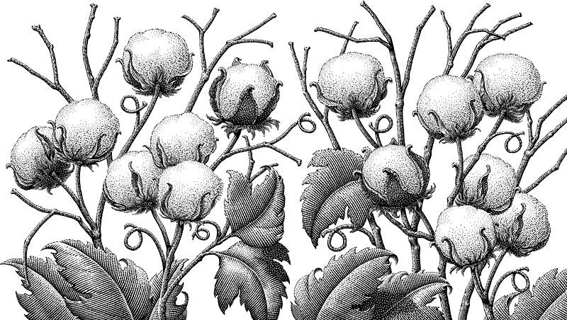 Cotton Plant Clipart Black And White.