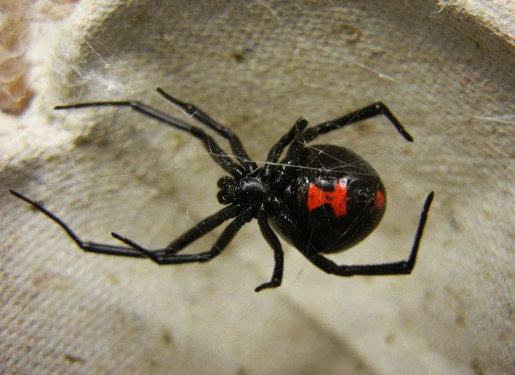 17 best ideas about Black Widow Spider on Pinterest.