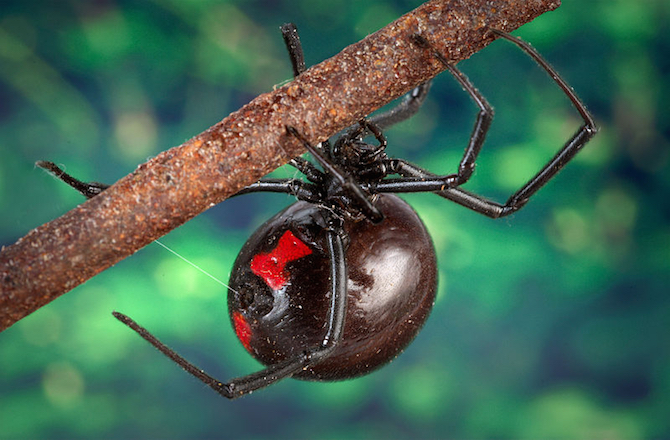 Black Widow Spider Bite Clipart.