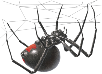 Black Widow Spider PNG Transparent Image.