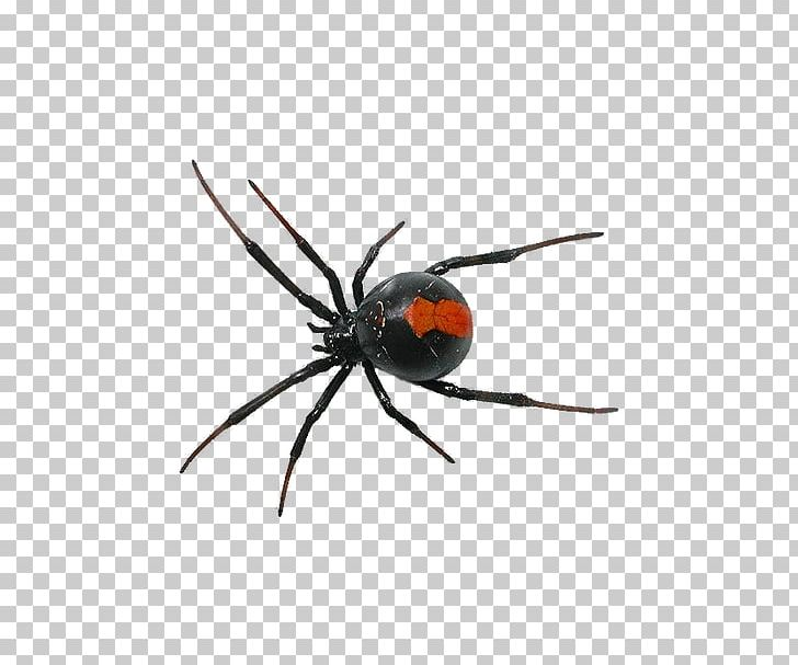 Spider Southern Black Widow PNG, Clipart, Animals, Arachnid, Araneus.