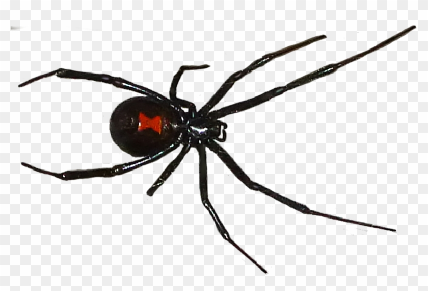 Black Widow Spider Png.