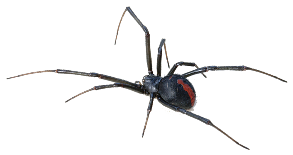 Download Black Widow Spider Transparent Background For Designing.