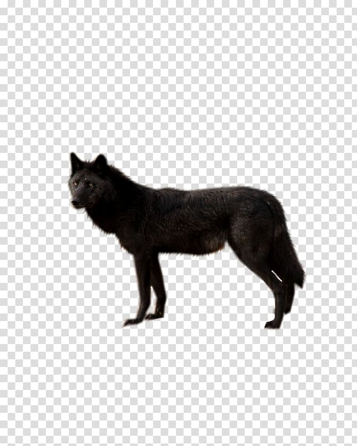 Dog Wolf Walking Black wolf Coyote, Dog transparent background PNG.