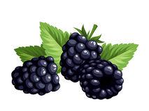 Blackberries clipart » Clipart Station.