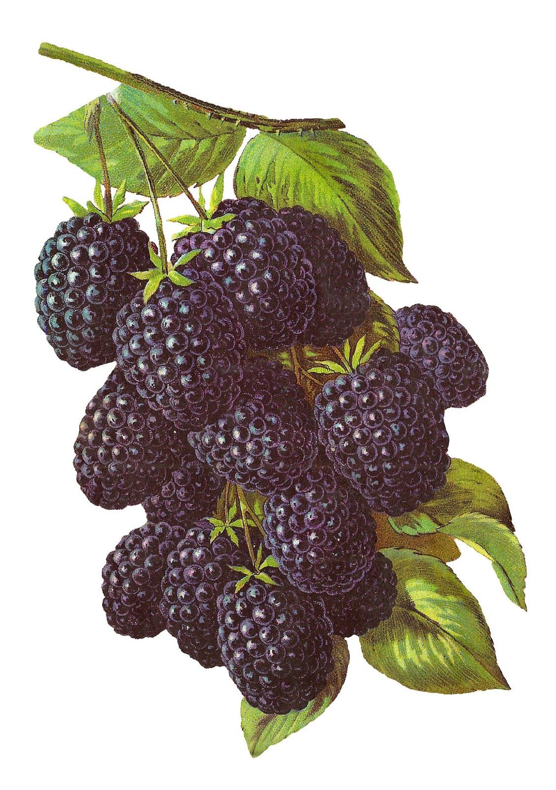 Antique Images: blackberries.