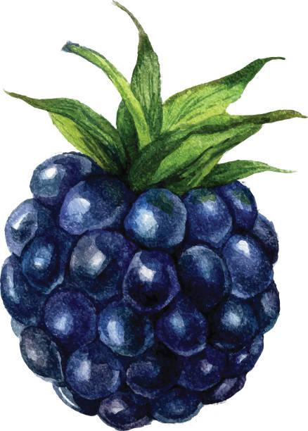 Best Blackberries Illustrations, Royalty.