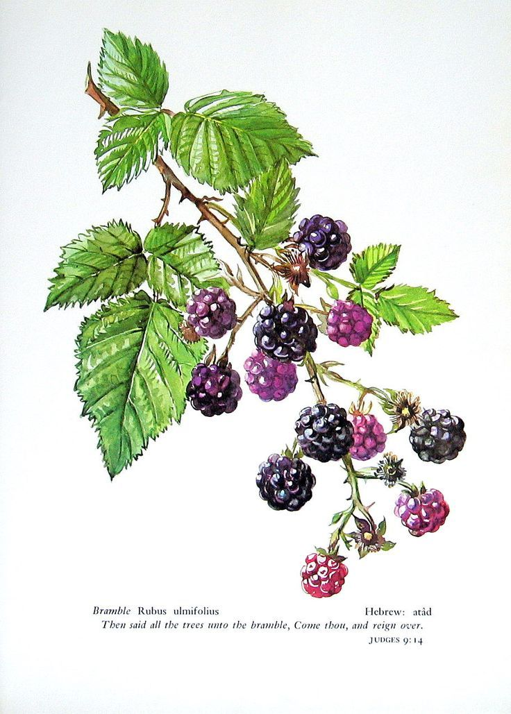 1000+ images about Blackberry tattoo on lower arm on Pinterest.