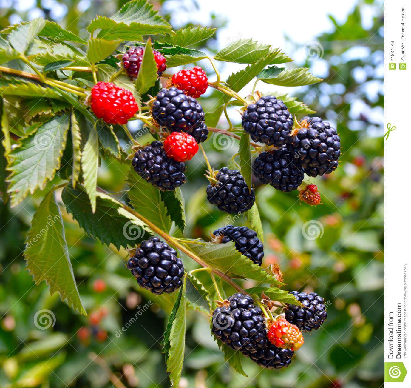 Blackberry Plant. Stock Photo.