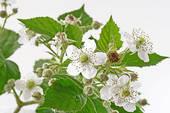 Stock Photography of blackberry bush isolated k8115311.
