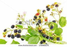 digital drawing of BlackBerry Plants.