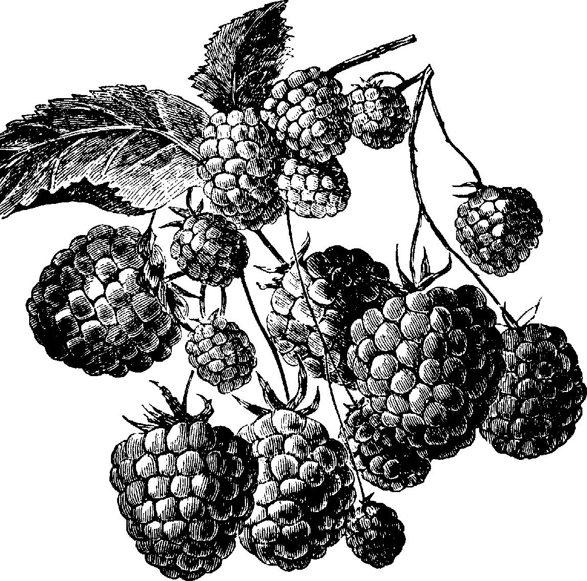 Blackberry black and white clipart.