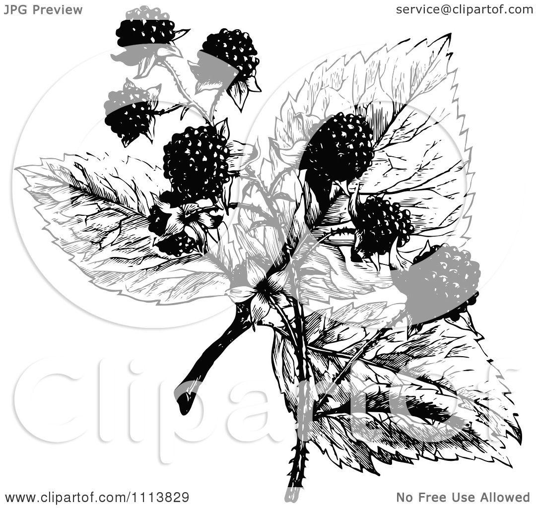 Clipart Retro Black And White Blackberry Plant.