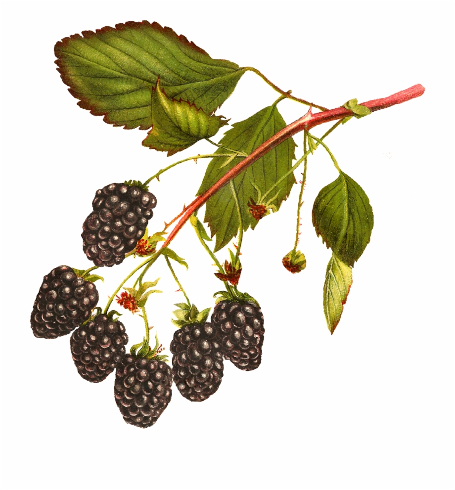Digital Blackberry Fruit Download.