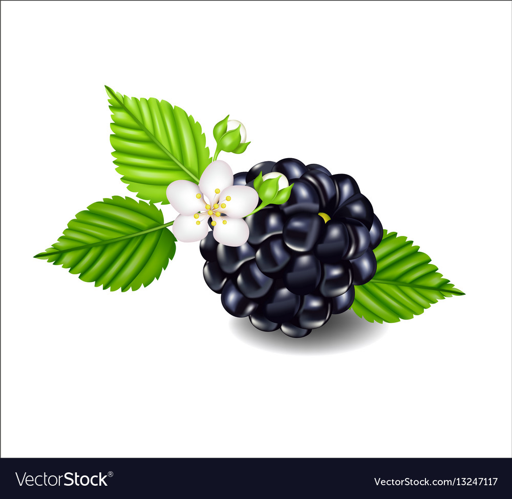 Composition of ripe blackberries flowers and.