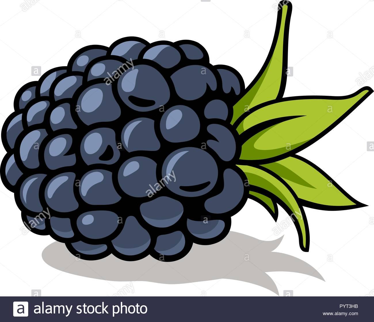 Vector illustration of fresh, ripe blackberry with green.