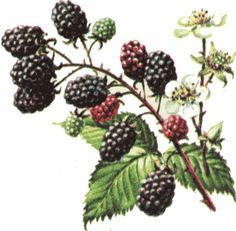 Blackberry plant drawing.