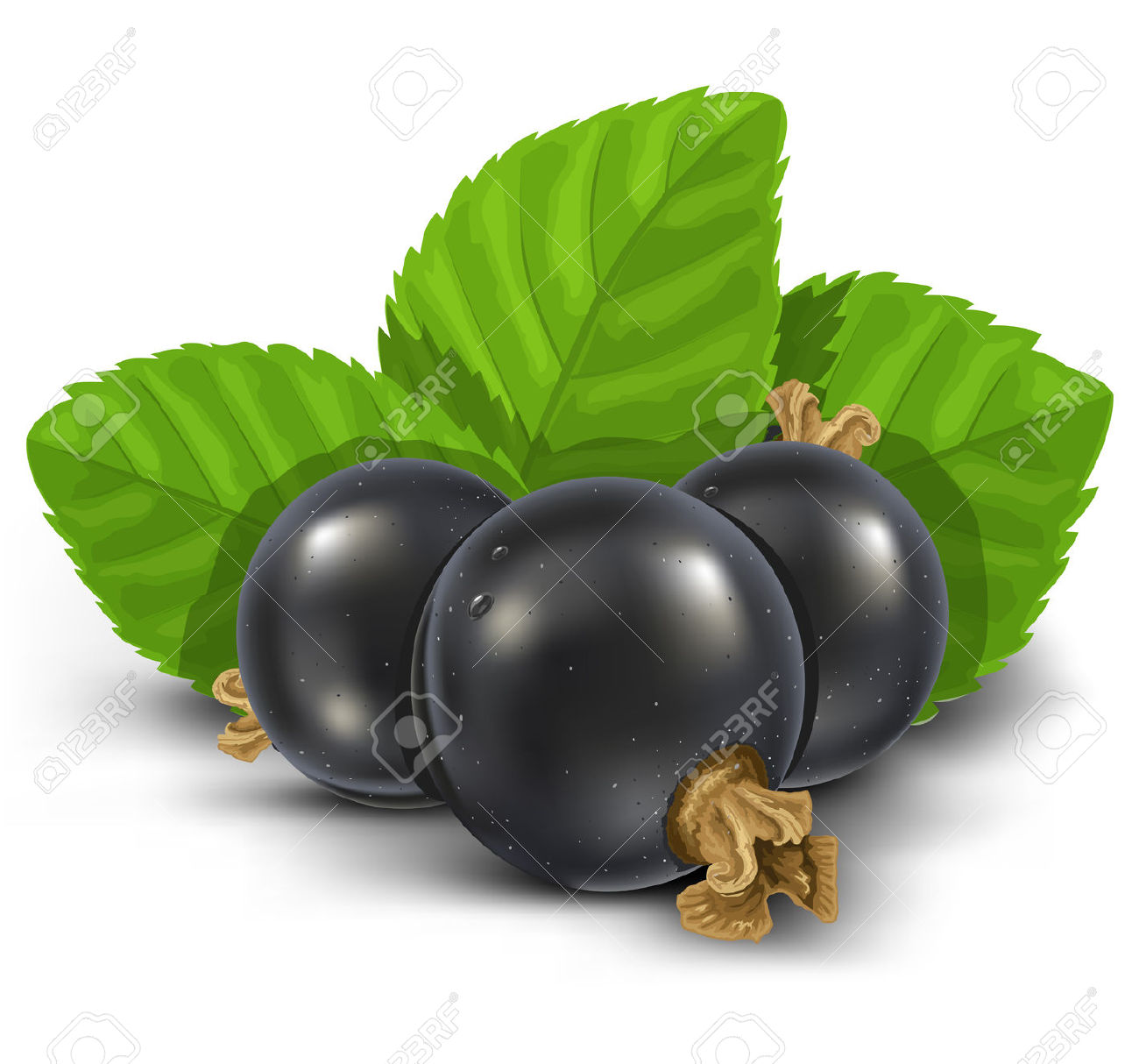 Black Currant Fruits With Green Leaves Vector Illustration Royalty.