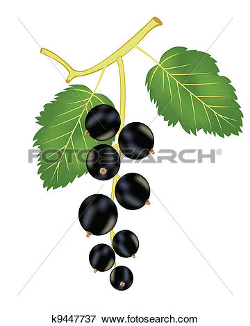 Clip Art of Branch of the black currant k9447737.
