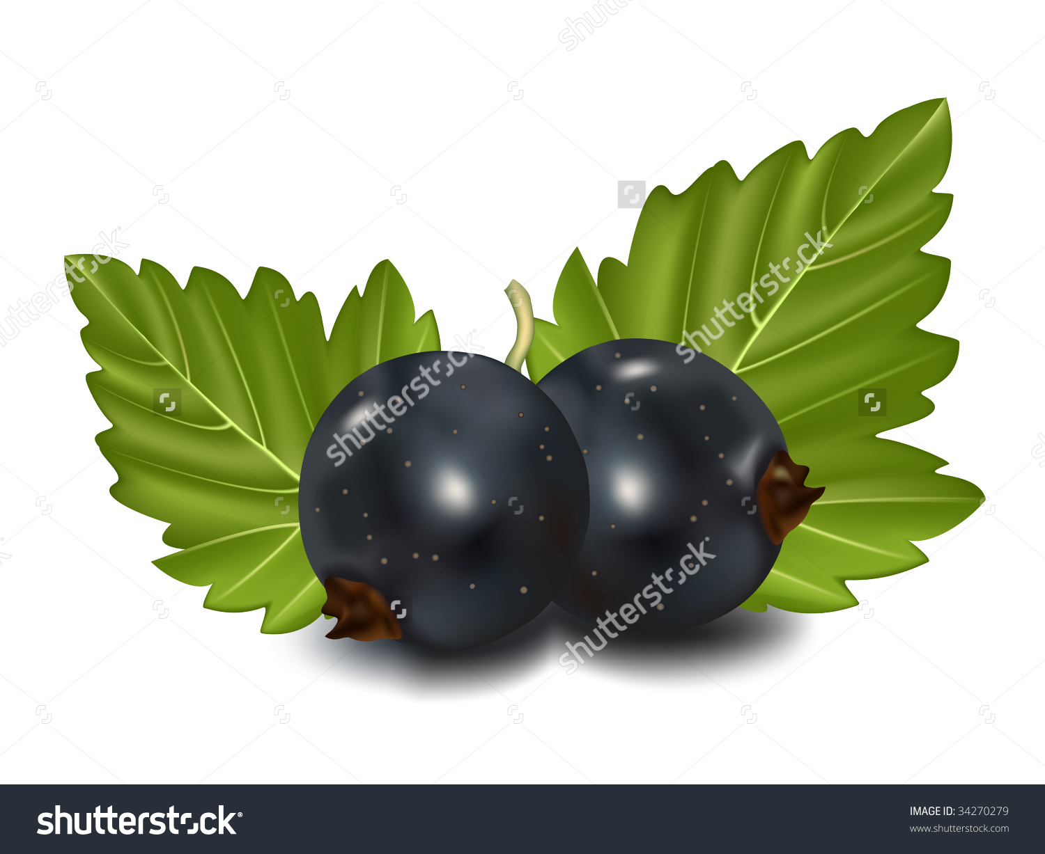 Vector Illustration. Black Currant With Green Leaves..