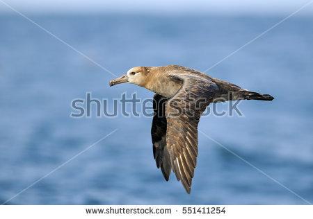 Albatross Stock Photos, Royalty.