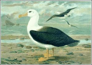 Albatros Clip Art Download.