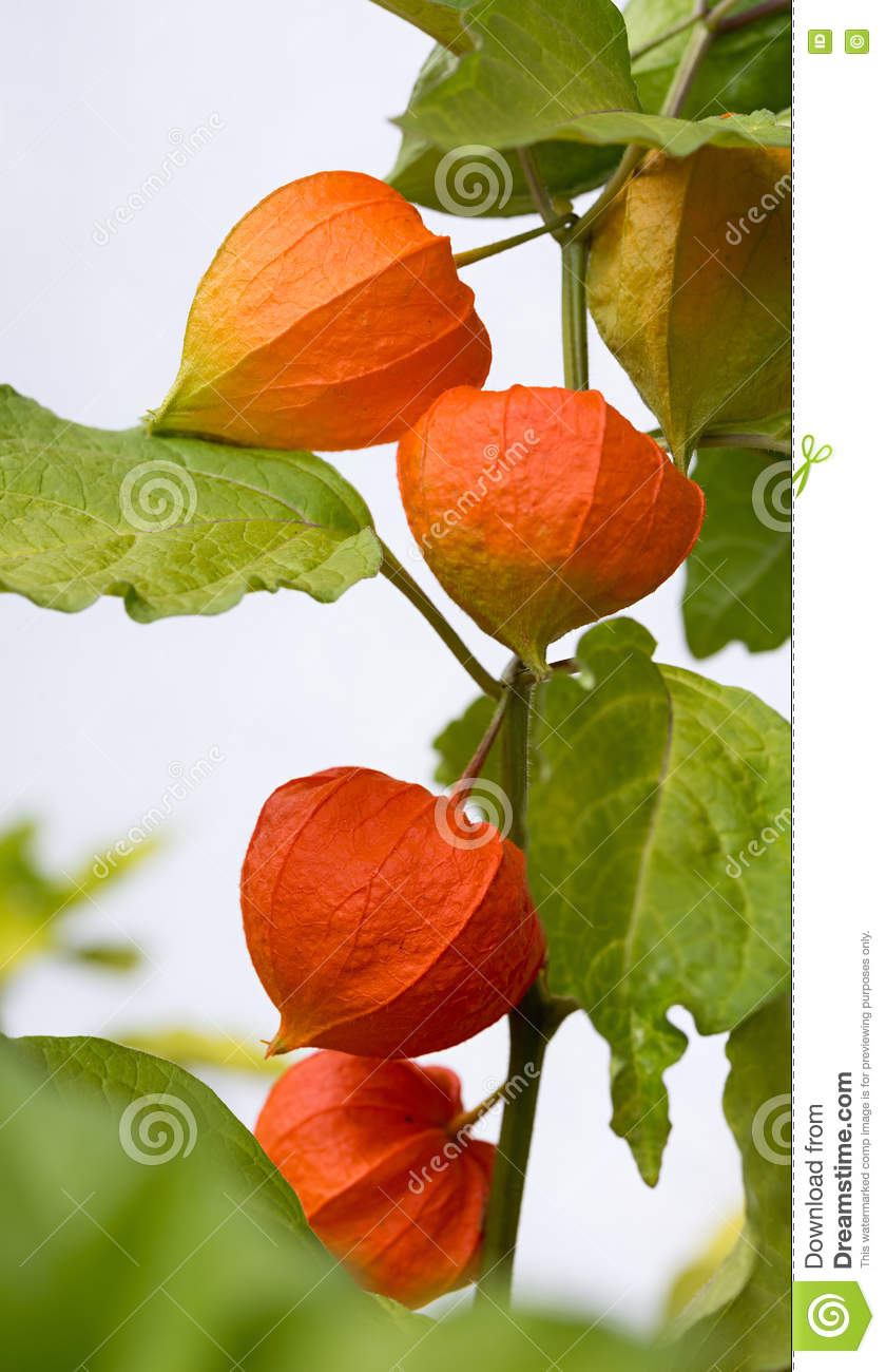 Bladder Cherry Plant With Orange Blossoms Stock Photo.