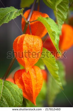 "lantern Plant"" Stock Photos, Royalty."