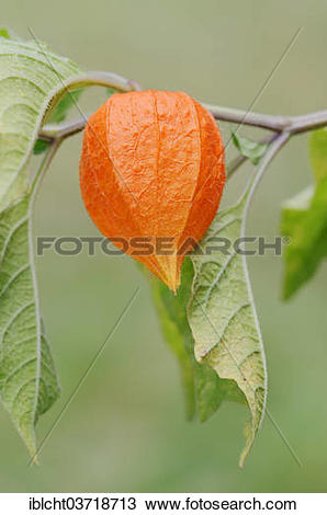 Stock Photo of Bladder Cherry or Chinese Lantern (Physalis.