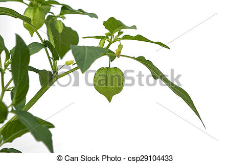 Stock Photos of Young, green lampion, bladder cherry in backlit.