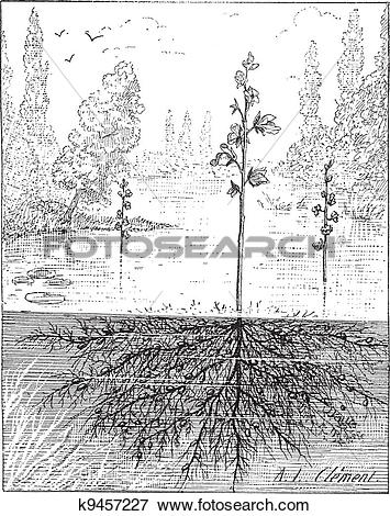 Clip Art of Utricularia or bladderworts plant, vintage engraving.