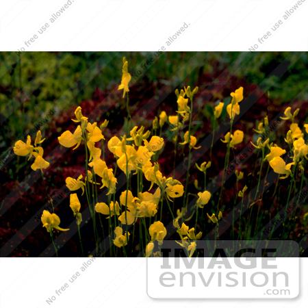 Photo of Yellow Bladderwort Flowers (Utricularia L).