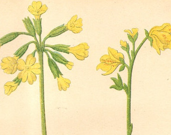 oxlips.