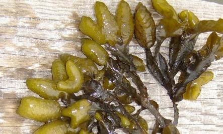 Bladderwrack Extract, Bladderwrack Seaweed Extract Tincture.