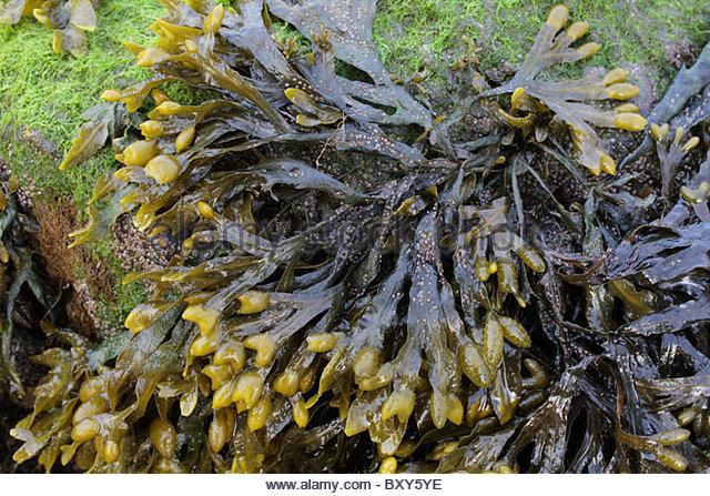 Bladderwrack Seaweed Stock Photos & Bladderwrack Seaweed Stock.