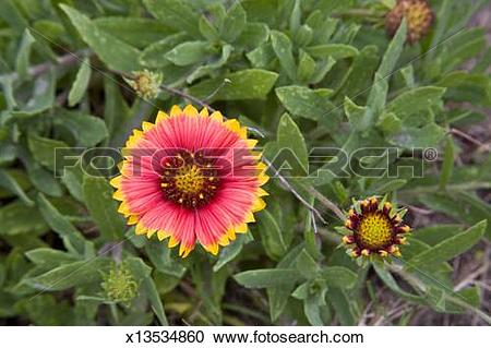 Stock Photography of Gaillardia Grandiflora, more commonly known.