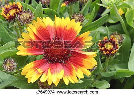 Stock Photo of Blooming Blanket Flower k7649974.