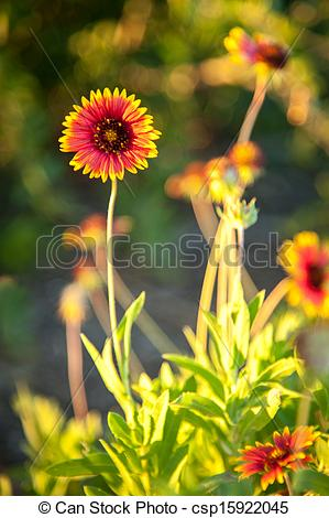 Stock Photo of Blanket flowers.