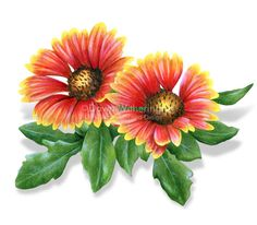 An Indian Blanket flower. My final project for Botanical.