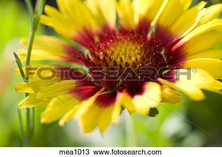 Stock Photo of Yellow Blanket Flower mea1013.