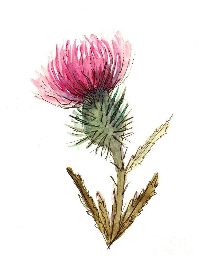 1000+ images about Thistles on Pinterest.